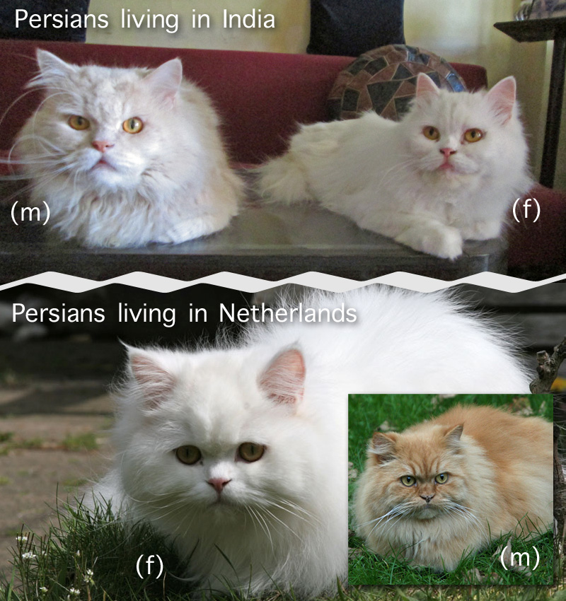 Comparison Dutch and Indian Persian cats