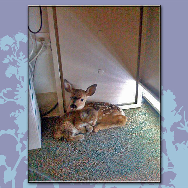 Fawn and Bobcat Kitten