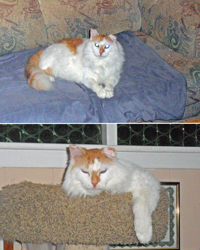 Rescue Maine Coon Puffy