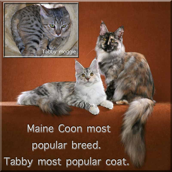 Tabby cat and Maine Coon cat