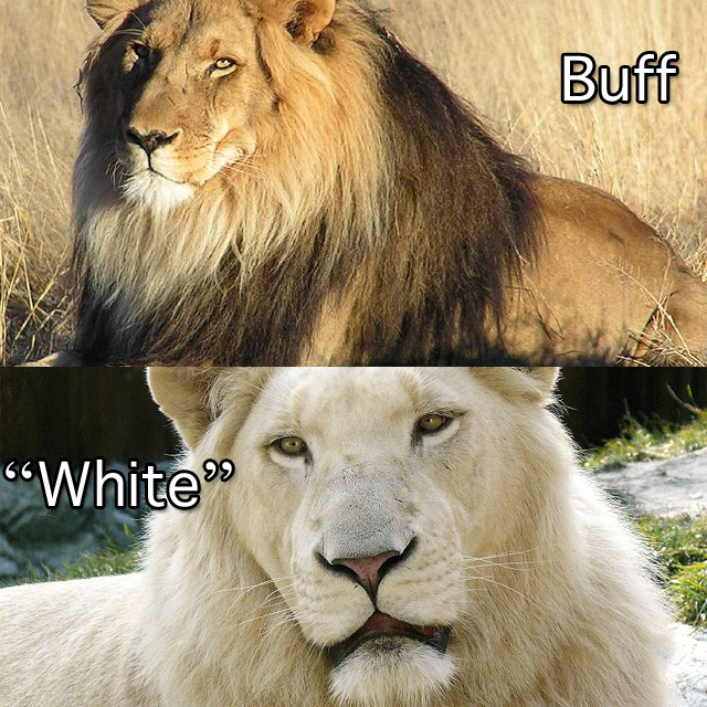 Buff Lion White lion compared to buff