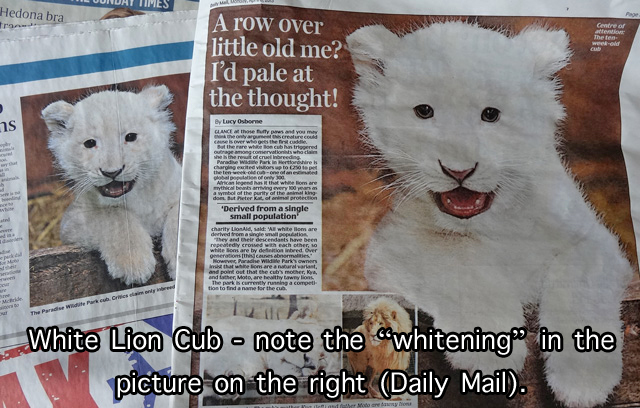 White lion cubs are popular