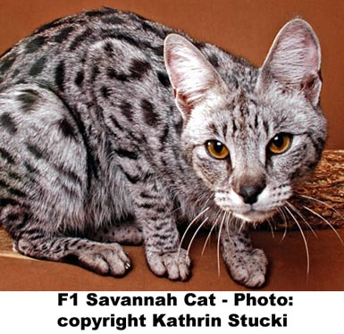 F1 Silver Savannah Cat