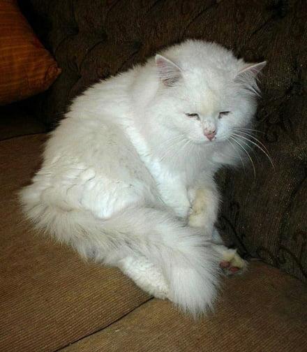 Minos - Persian cat