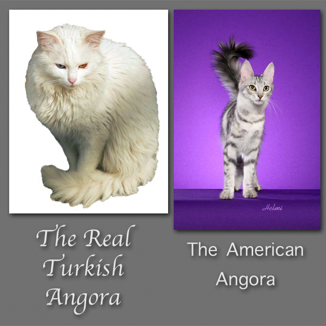 Difference between angora persian cat