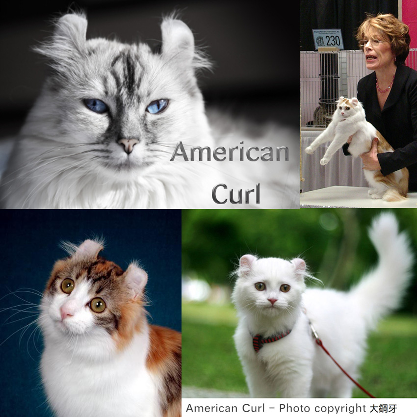 American Curl cat facts for kids