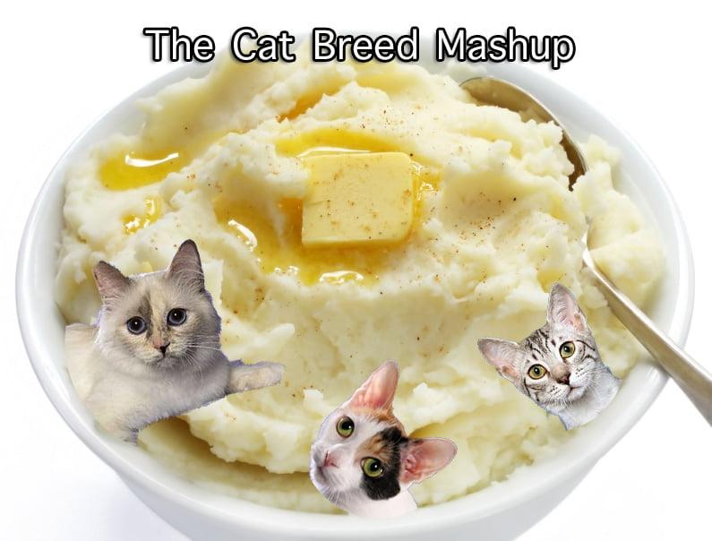 Cat Breed Mashup