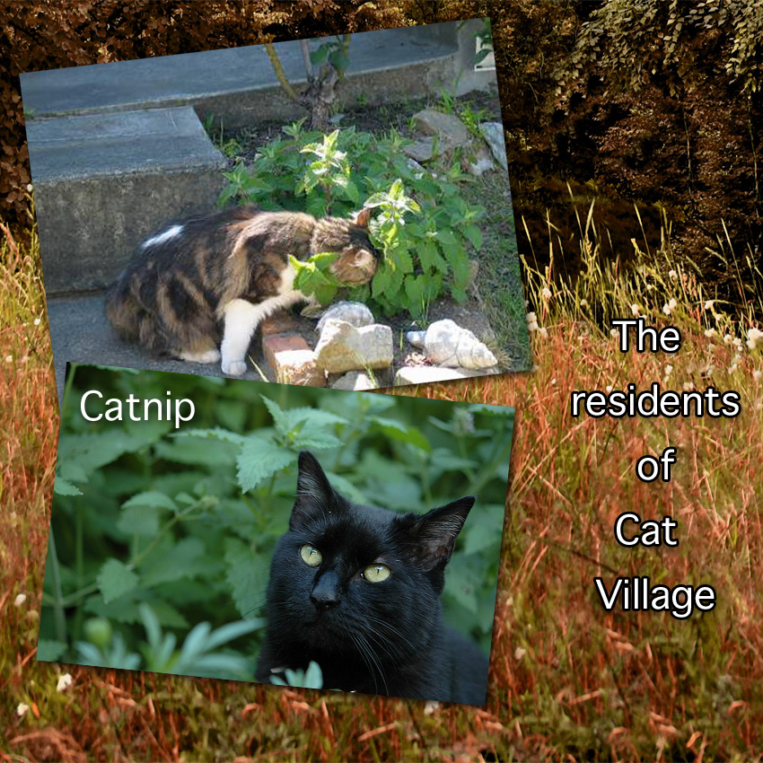 Catnip growing wild