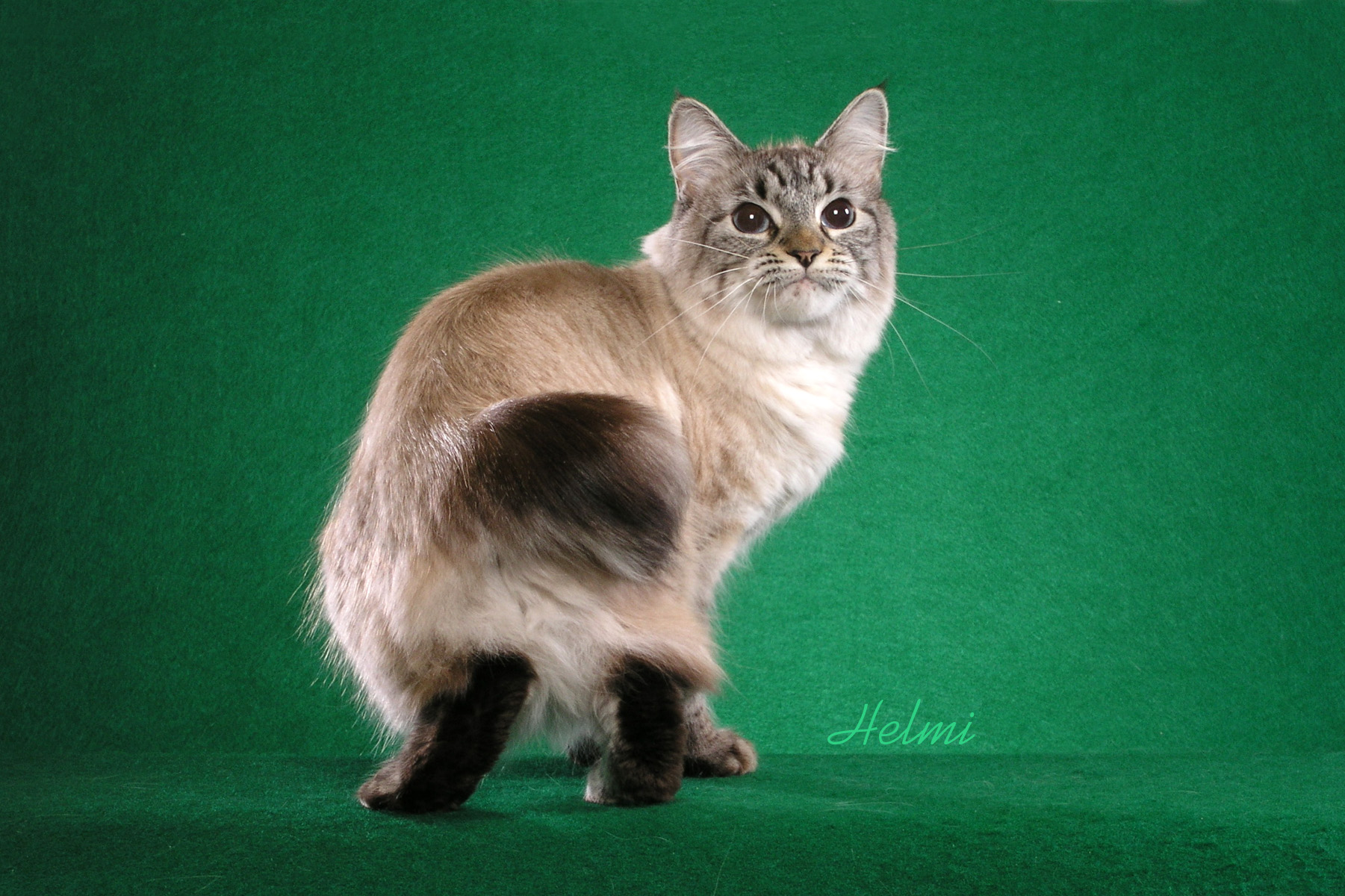 No-tail of Shadowclan Longhair-American-Botail-Fergie-1