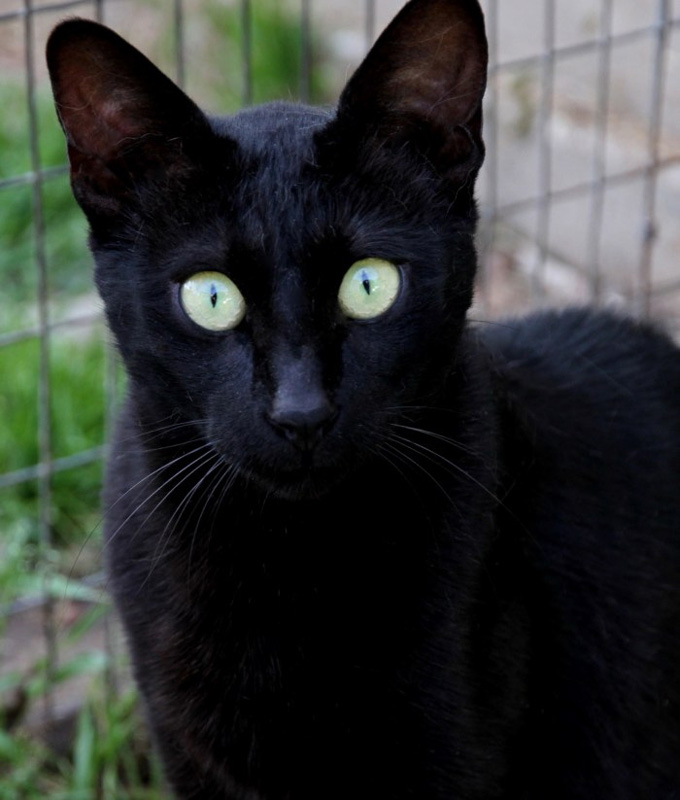 Melanistic Savannah Cat