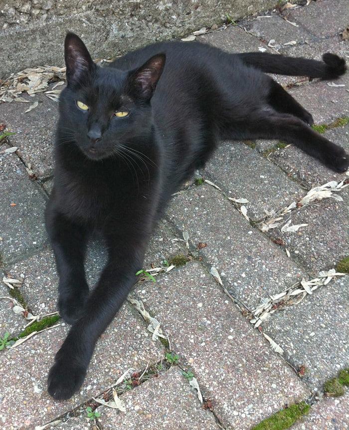 Monty - a black American cat