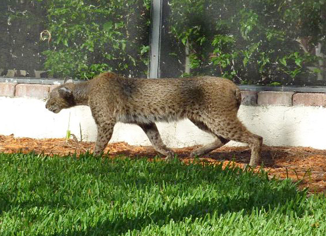 Puma bobcat hybrid?