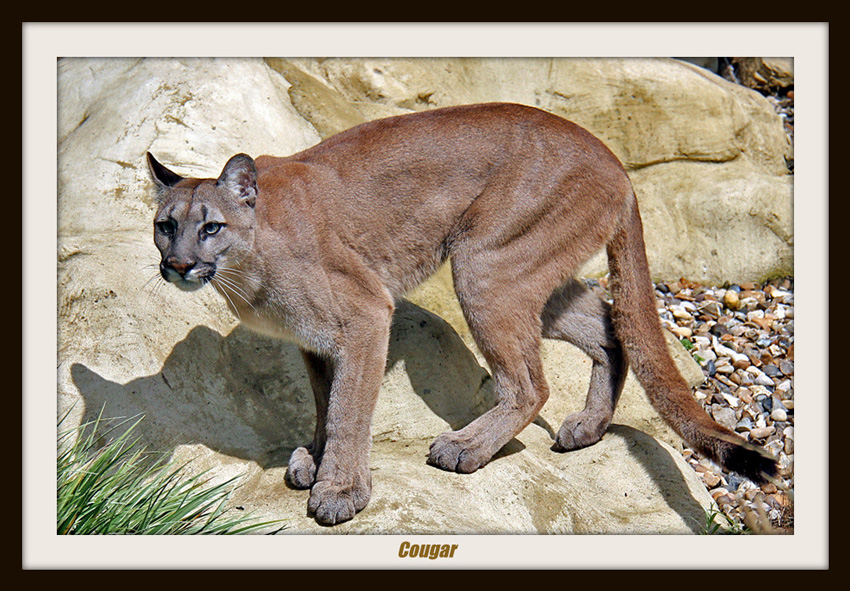 Beautiful photo of the puma showing the long legs and long tail