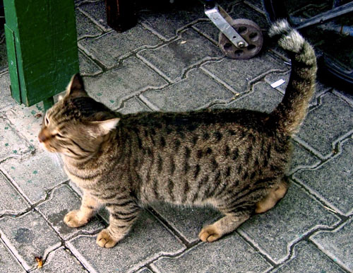 Spotted street cat