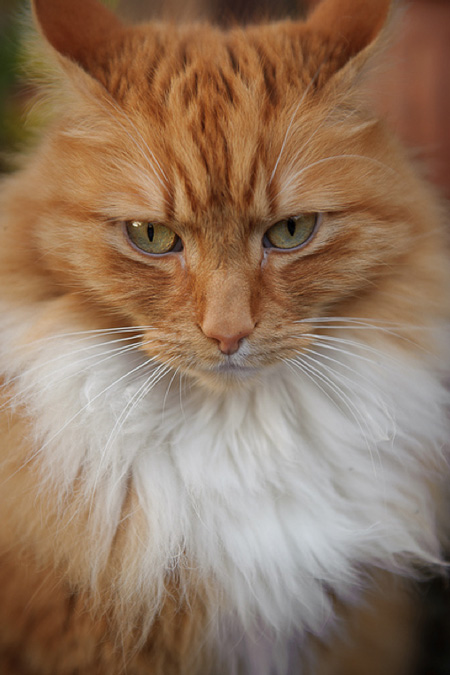 Willie a red tabby and white Maine Coon