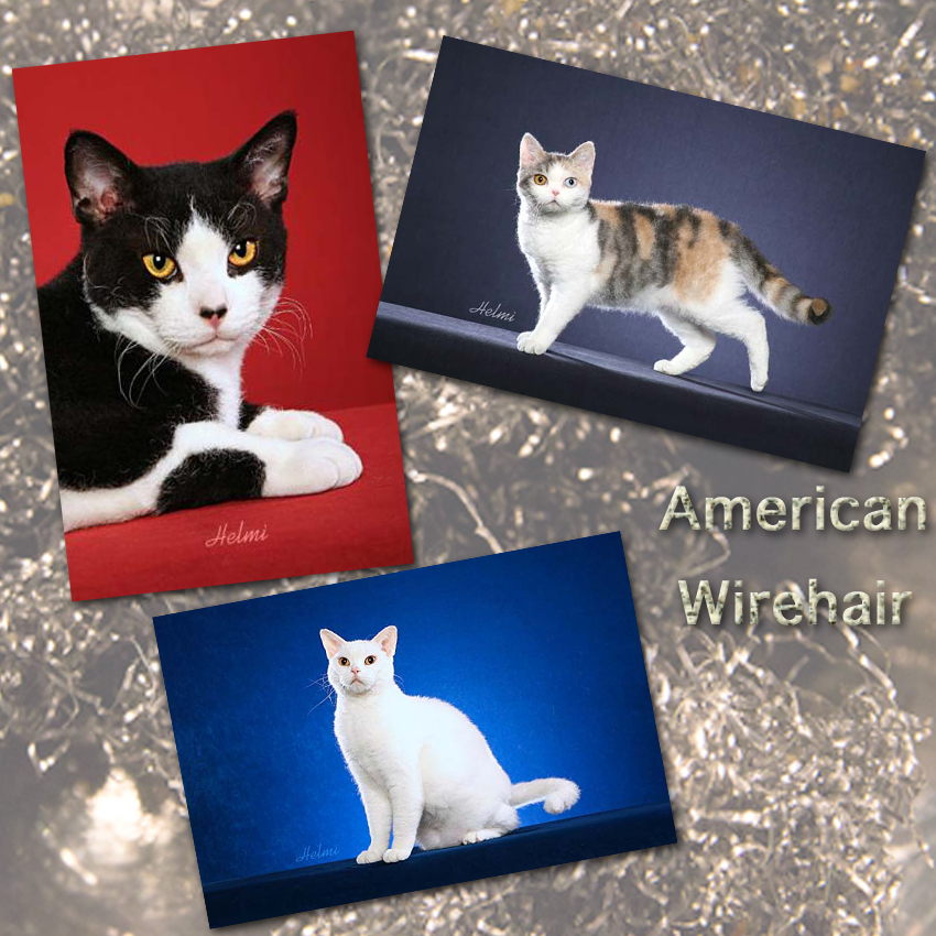 American Wirehair cat facts for kids