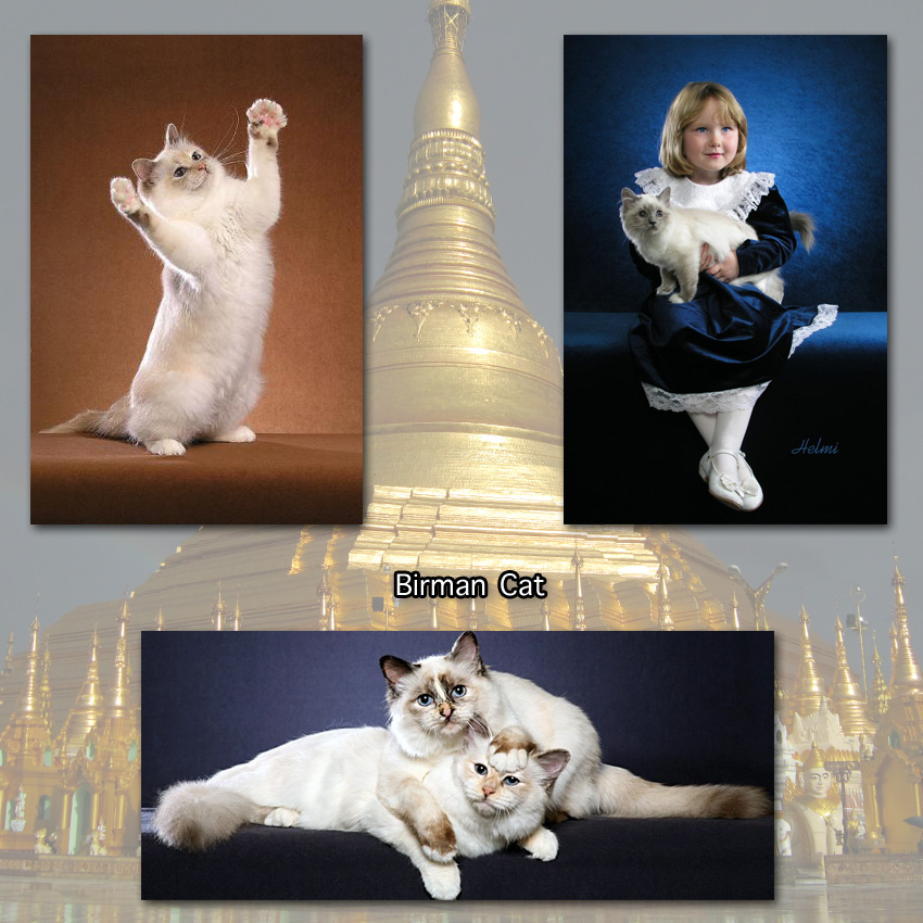 Birman Cat Facts For Kids