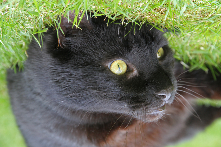 Cat rolling around in the grass, London, UK. Photo: Michael