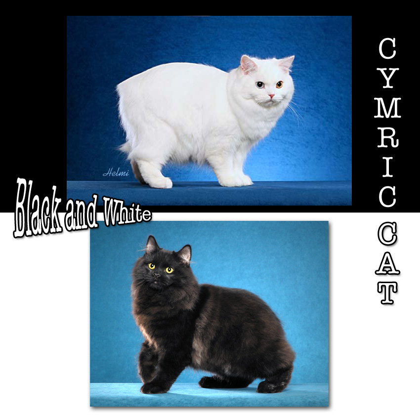 Cymric Cat Facts For Kids