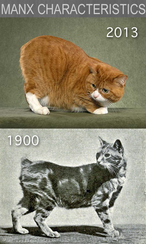 Manx Cat Characteristics