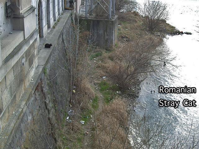 Romania Cat