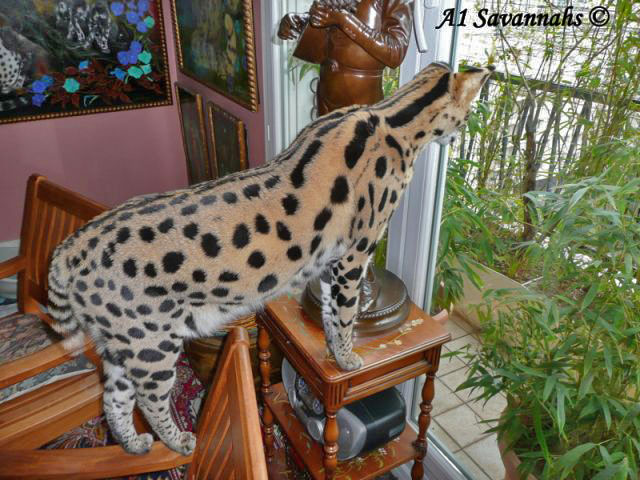 A1-Savannahs-A1-Supremes-Jean-Pierre-serval-looking-out-the-window-m