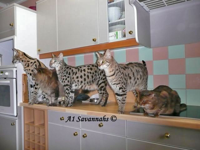 A1-Savannahs-A1-Supremes-Jean-Pierre-waiting-for-dinner-m