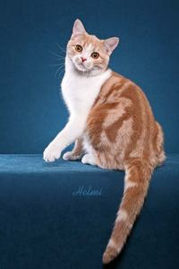 American Shorthair Champ beauty shot