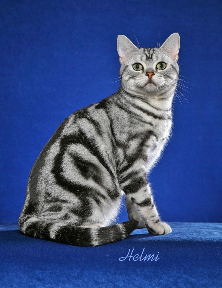 American Shorthair Portrait