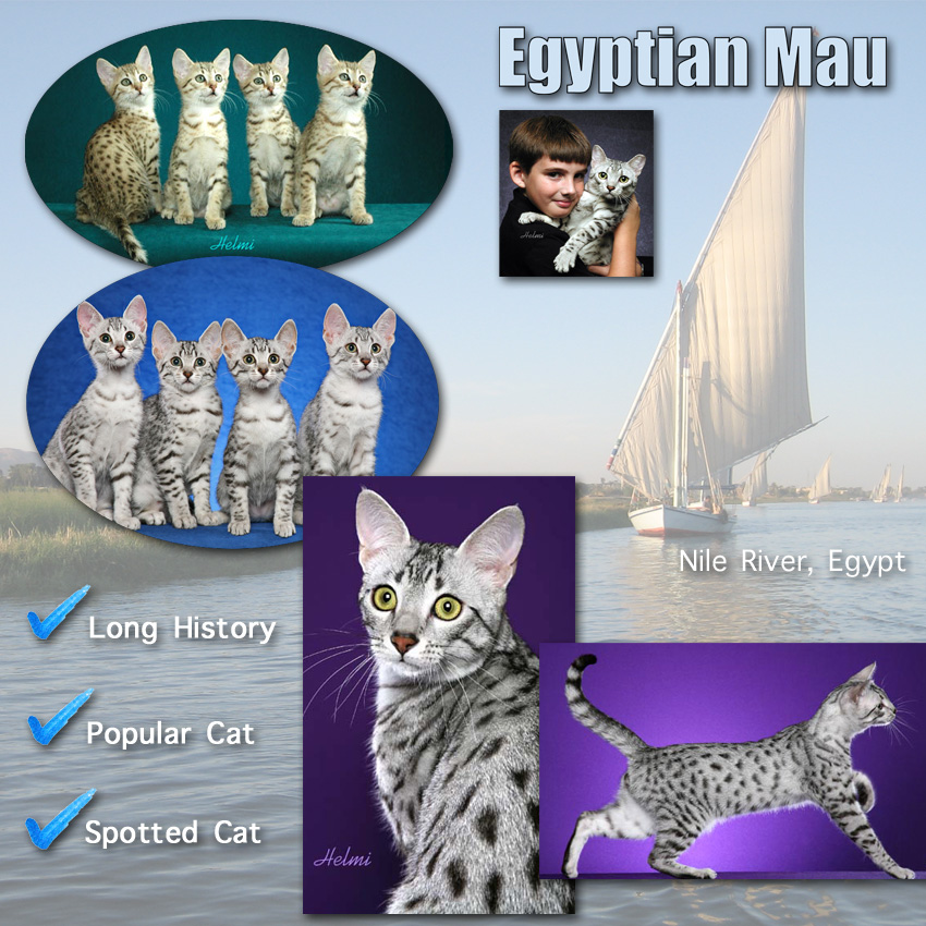 Egyptian Mau Cat Facts For Kids