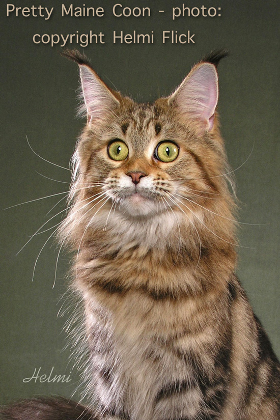 Pretty Maine Coon