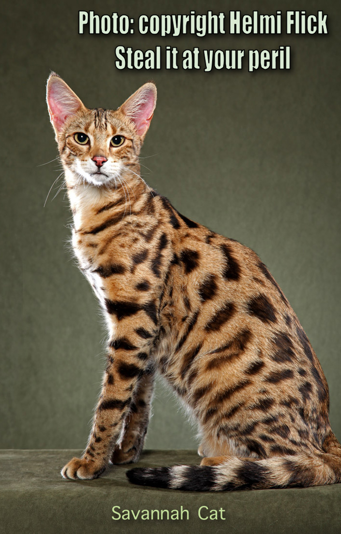 Beautiful Savannah Cat