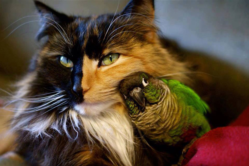 Tortie cat and cuddly parrot