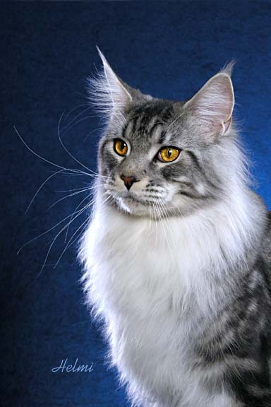 Maine Coon Cat Boswell
