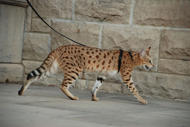 First generation Savannah cat