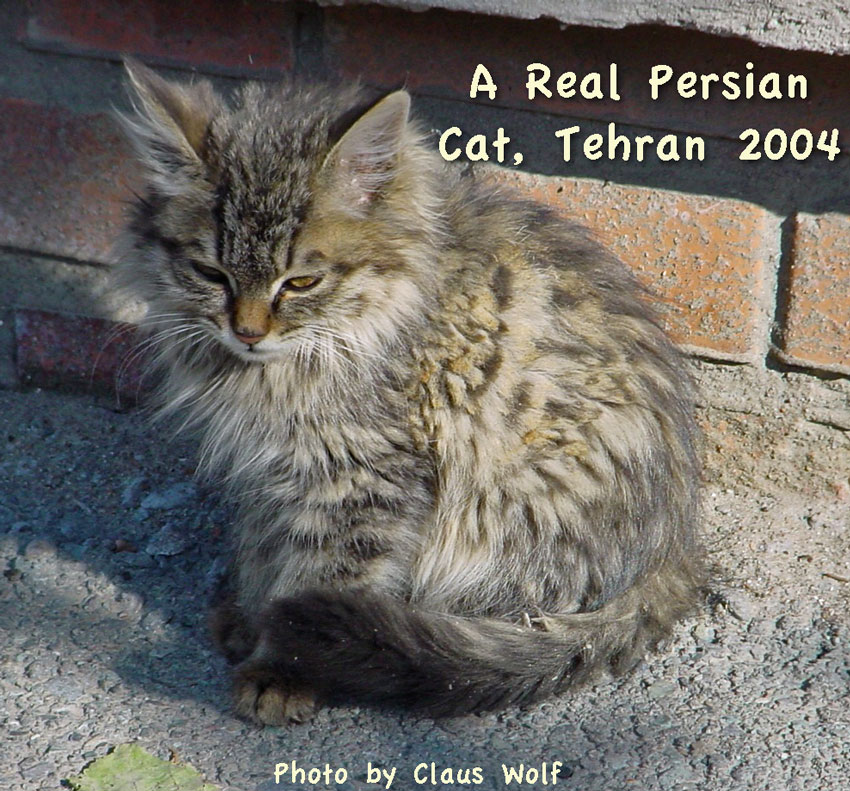 A real modern Persian cat in Iran