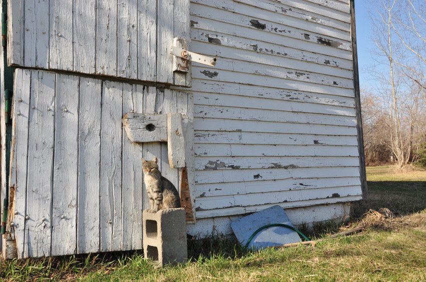 Barn Cat Guarding Barn