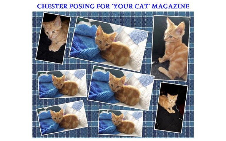 Chester Rescue Cat Posing
