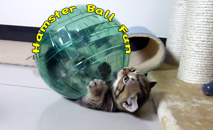 Hamster ball fun for kittens