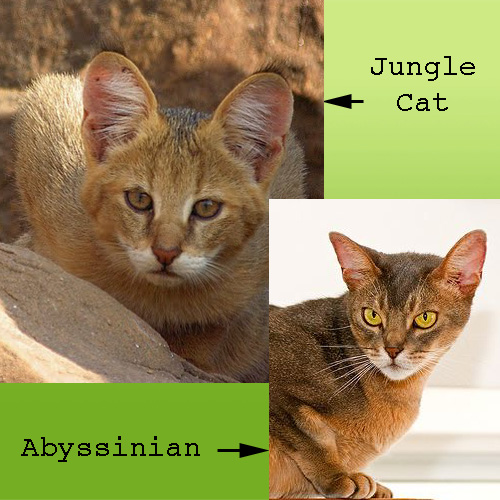 Jungle cat and Abyssinian cat
