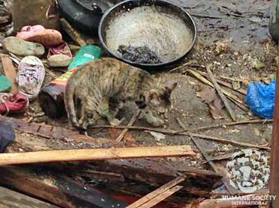 Cat foraging for food after typhoon haiyan philippines