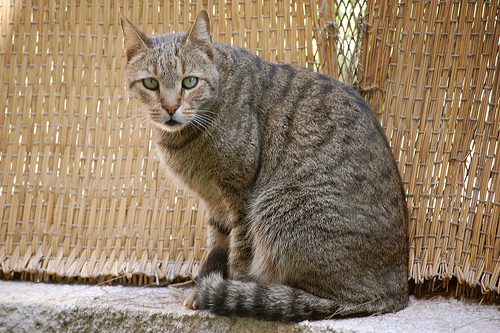Feral Egyptian Mau cat in Egypt