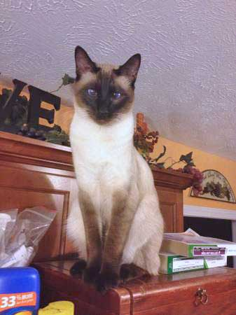 Missing Siamese Cat