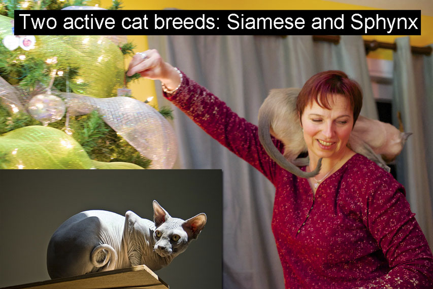 Active cat breeds