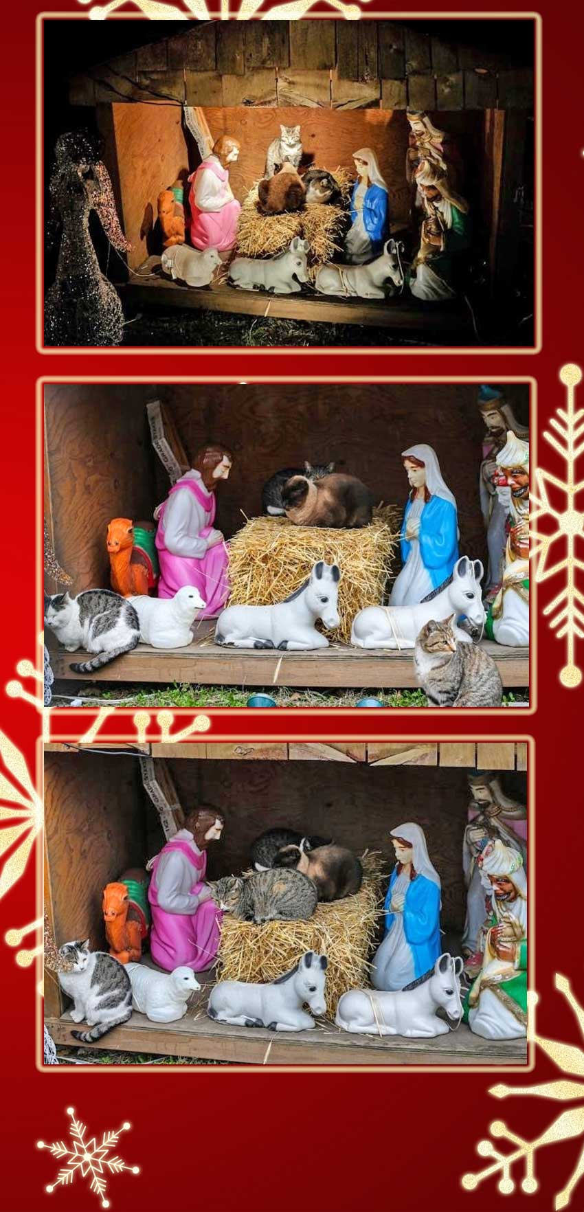feral cats take over nativity scene