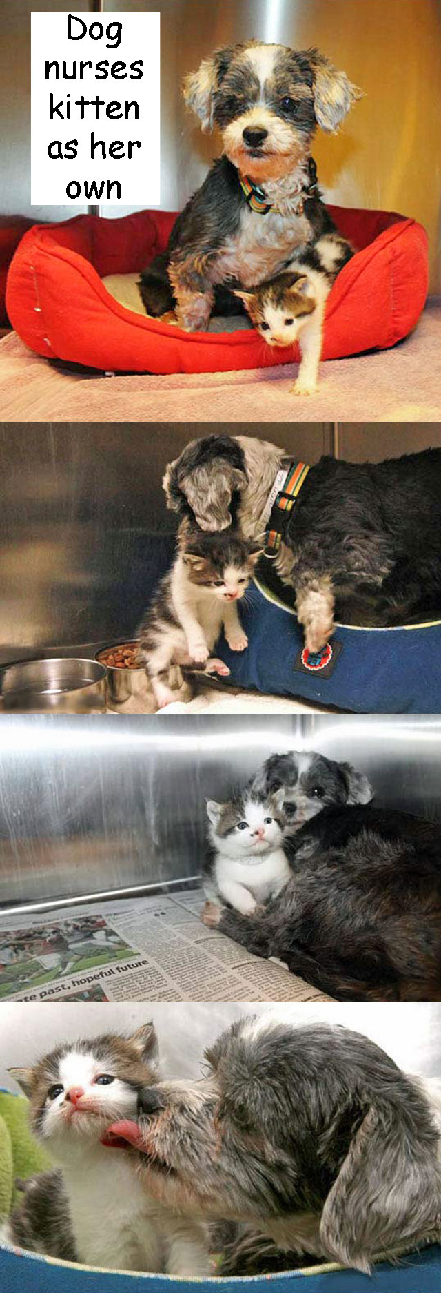 Rescued dog nursing kitten as her own