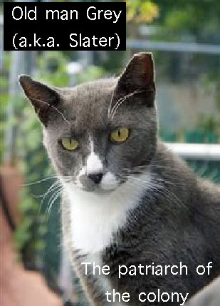 Old Man Grey of feral cat colony of NYC that went missing