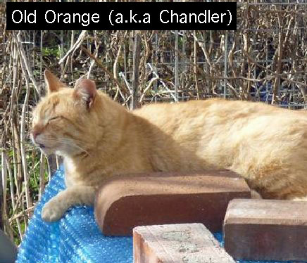 Old Orange feral cat
