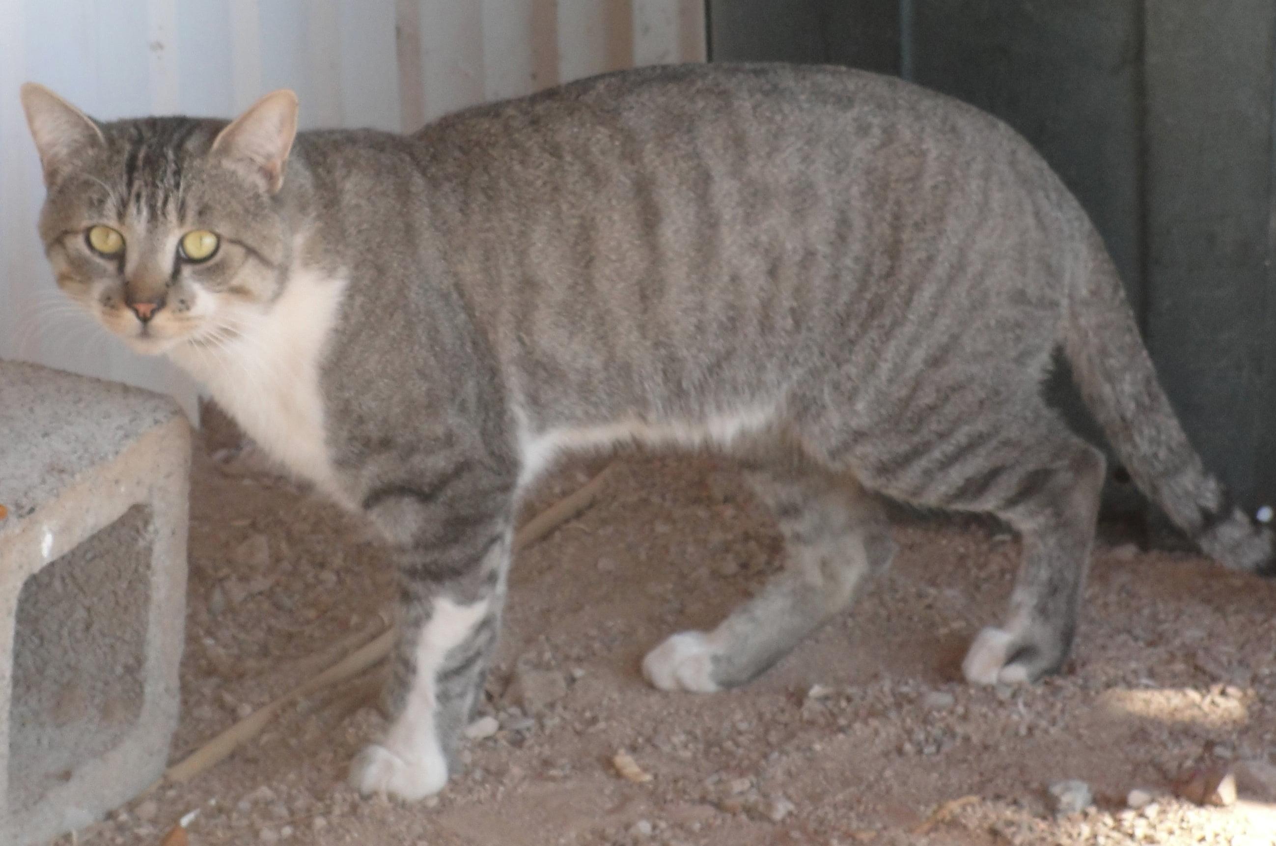 flat faced munchkin cat