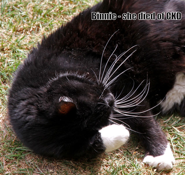 Cat who had chronic kidney disease (CKD)
